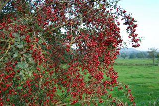 Hawthorn Jelly Recipe