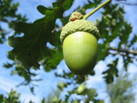 processing-acorns
