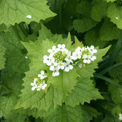 Garlic Mustard Recipe