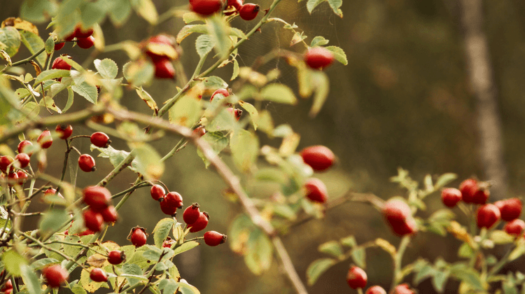 Are Rose Hip Seeds Poisonous