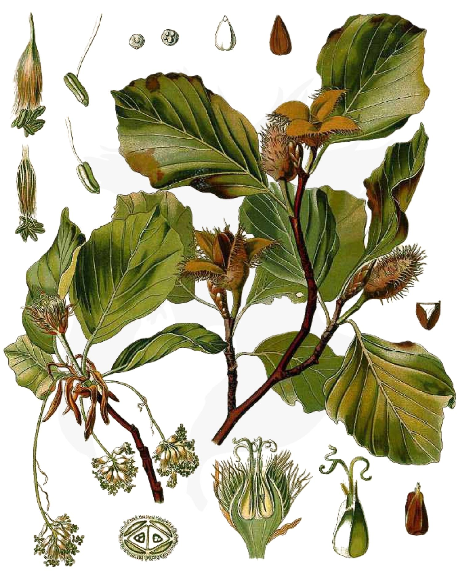 Beech - A Foraging Guide to Its Food, Medicine and Other Uses