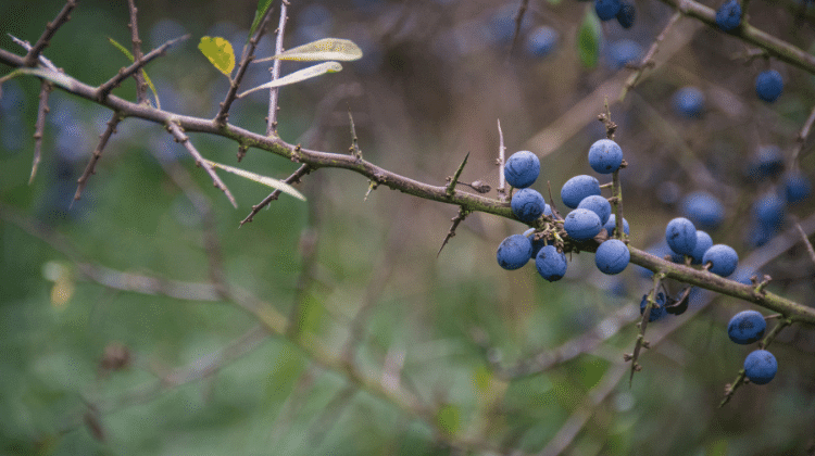 Sloe - Food, Medicine and Other Uses - Prunus spinosa