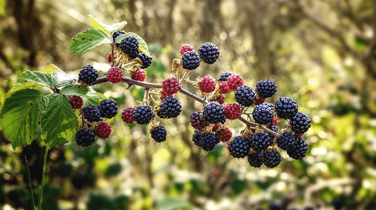 Blackberry - Past and Present Uses as Food and Medicine - Rubus fruticosus
