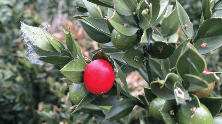 Traditional and Modern Use of Butchers Broom | Ruscus aculeatus