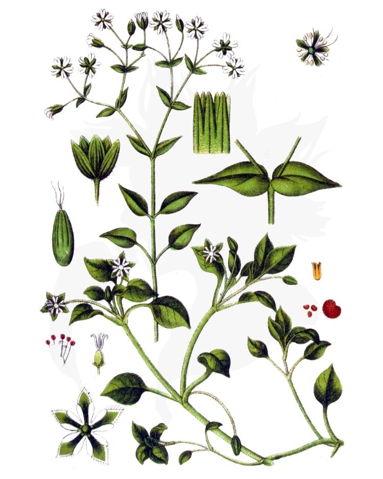 Chickweed - A Foraging Guide to Its Food, Medicine and Other Uses