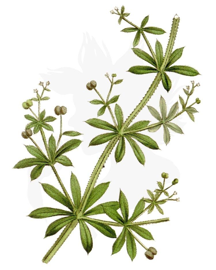 Cleavers Galium aparine