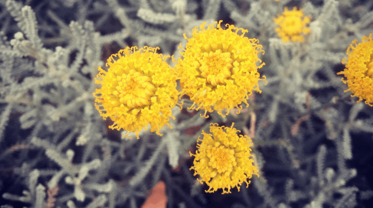 Cotton Lavender | Santolina chamaecyparissus