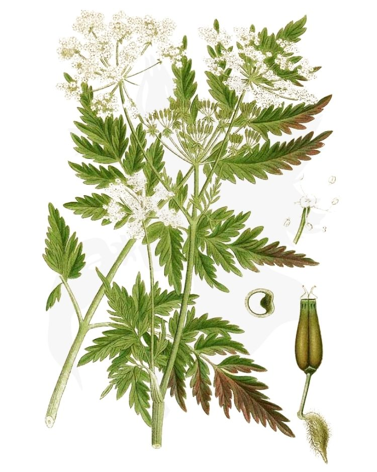 Cow Parsley – A Foraging Guide to Its Food, Medicine and Other Uses