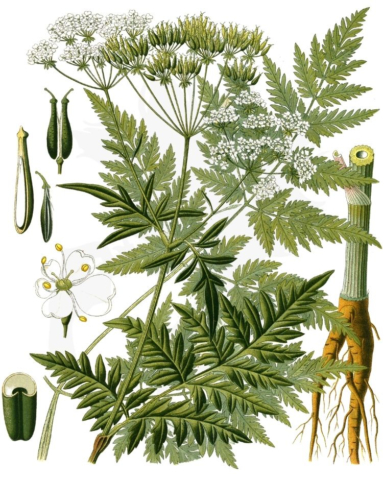 Cow parsley Anthriscus sylvestris