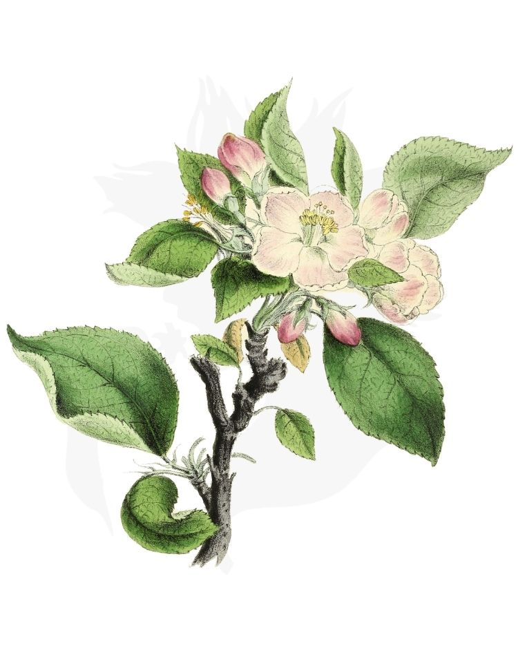 Crab Apple - A Foraging Guide to Its Food, Medicine and Other Uses