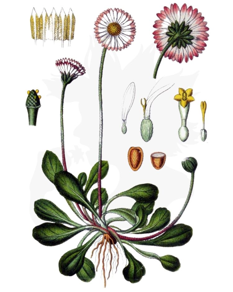 Daisy - A Foraging Guide to Its Food, Medicine and Other Uses
