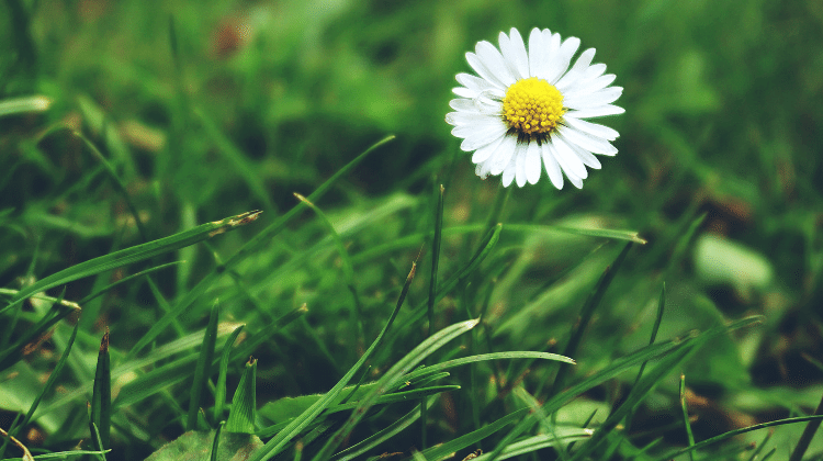 Daisy - Its Past and Present Uses as Food and Medicine