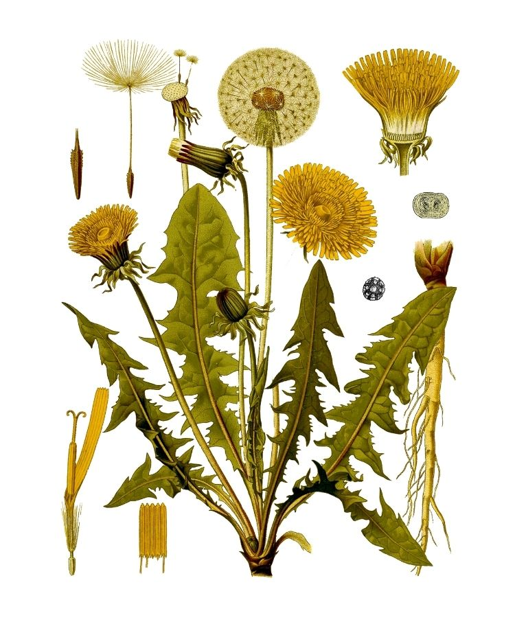 Dandelion - A Foraging Guide to Its Food, Medicine and Other Uses
