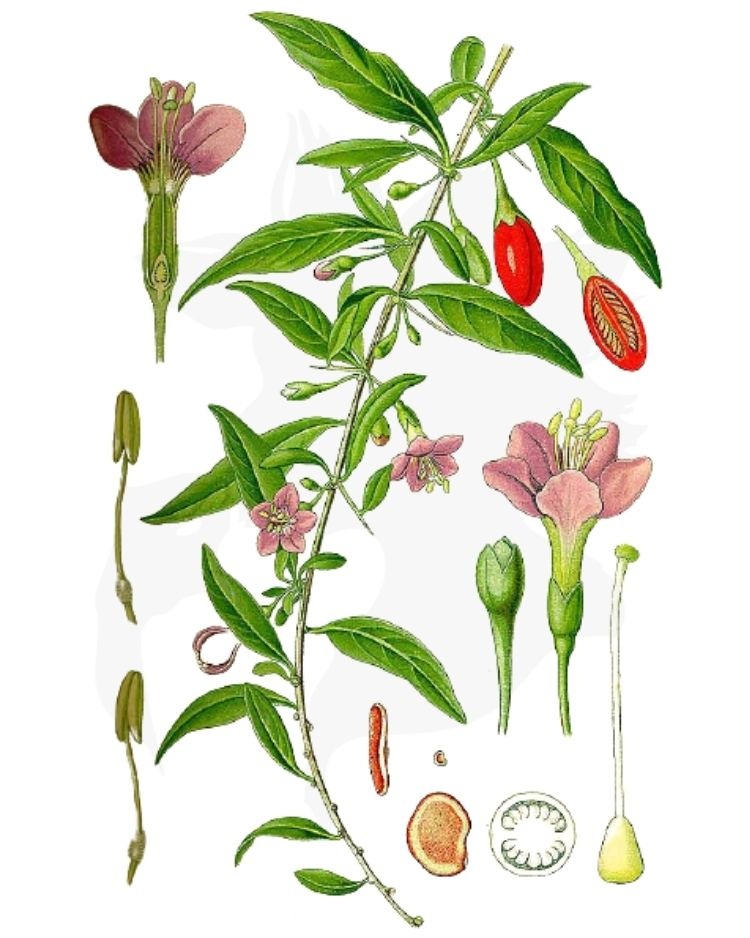 Duke of Argyll's Teaplant – A Foraging Guide to Its Food, Medicine and Other Uses