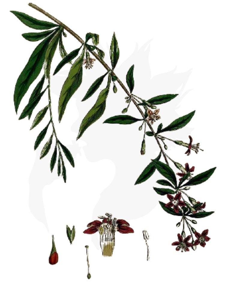 Duke of Argyll's Teaplant - Lycium barbarum