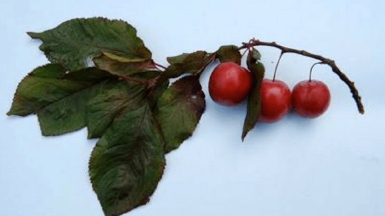 Edible Cherry Plum