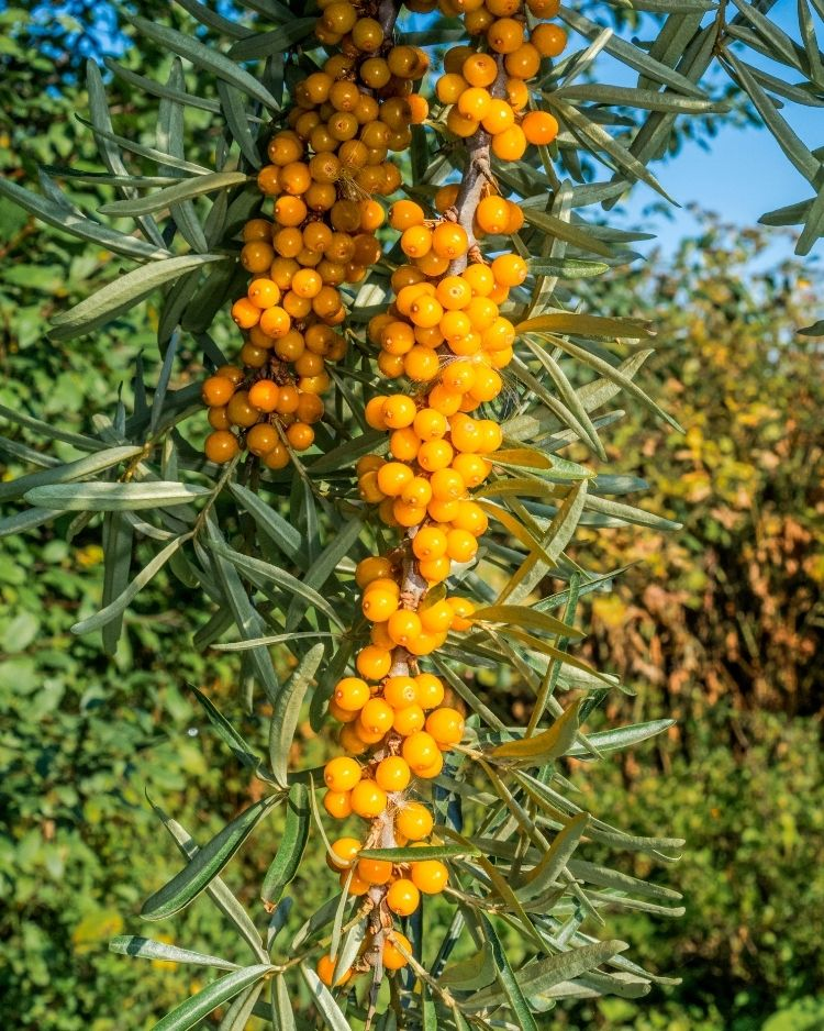 Sea Buckthorn - A Foraging Guide to Its Food, Medicine and Other Uses