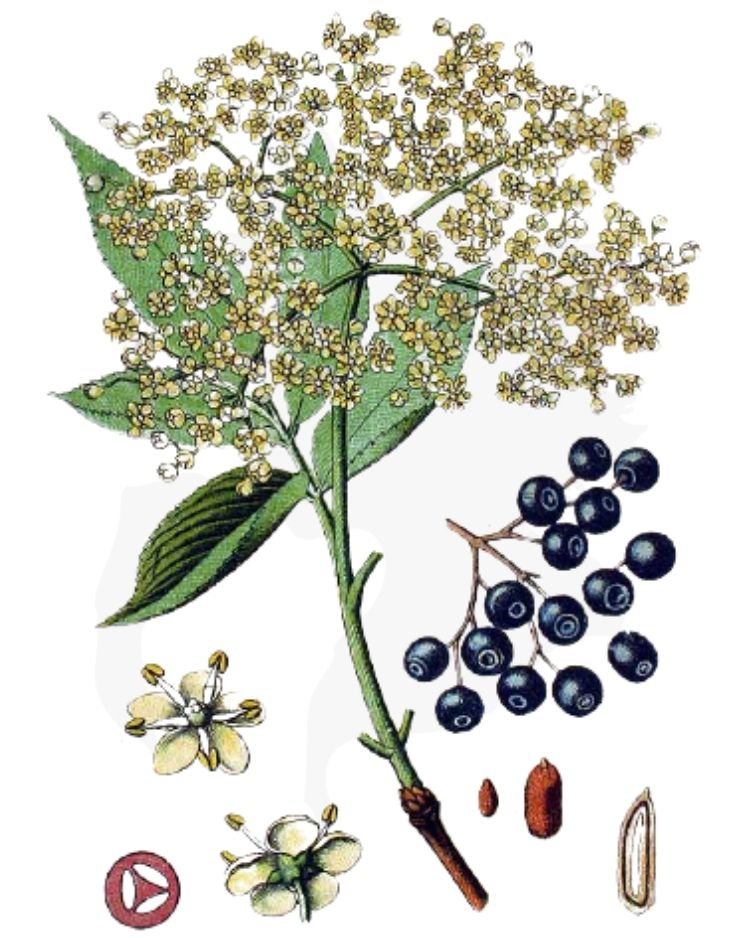 Elder Sambucus nigra