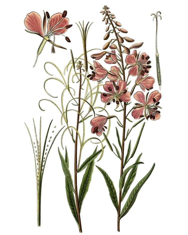 Rosebay Willowherb - A Foraging Guide to Its Food, Medicine and Other Uses