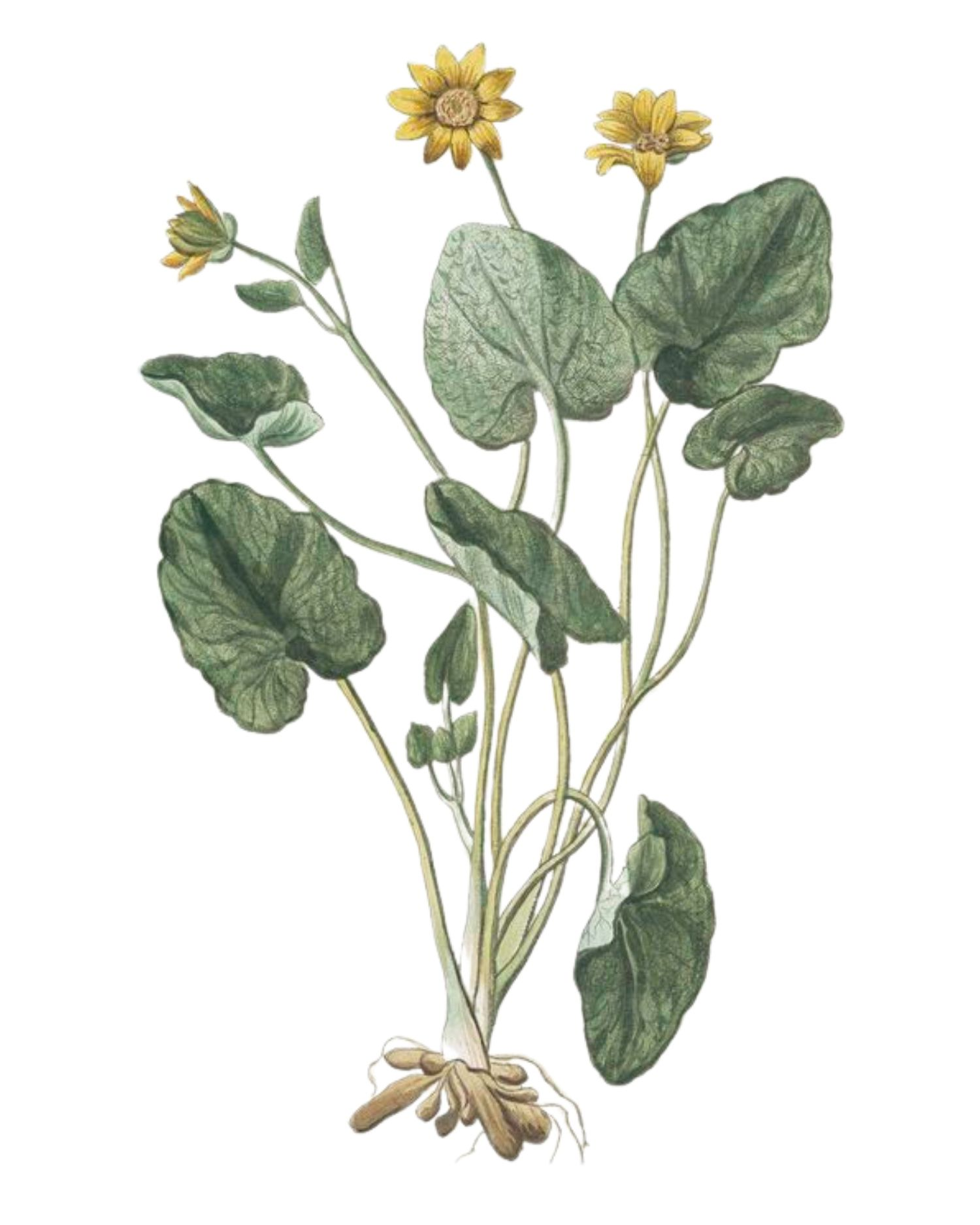 Lesser Celandine - A Foraging Guide to Its Food, Medicine and Other Uses