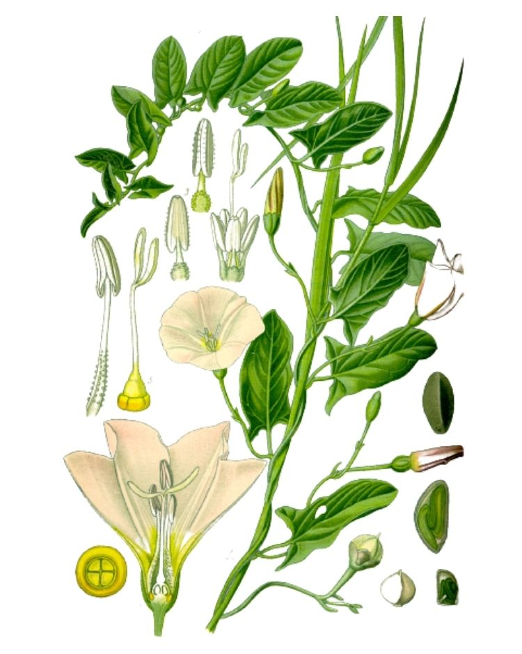 Field Bindweed - A Foraging Guide to Its Food Uses