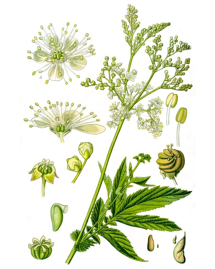 Meadowsweet - A Foraging Guide to Its Food, Medicine and Other Uses