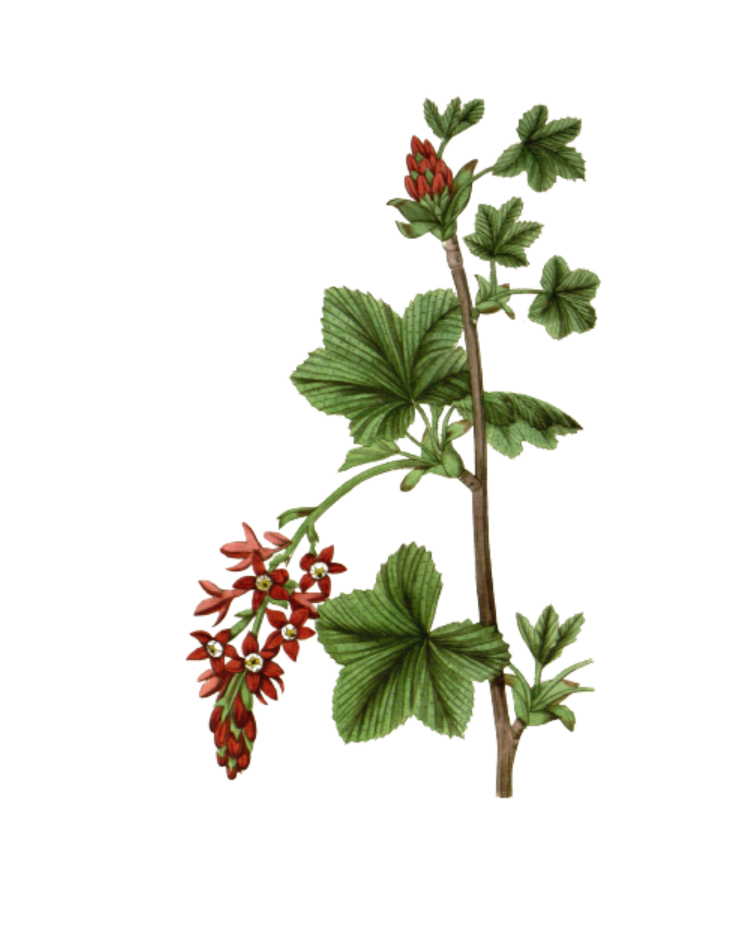 Flowering Currant – A Foraging Guide to Its Food Uses