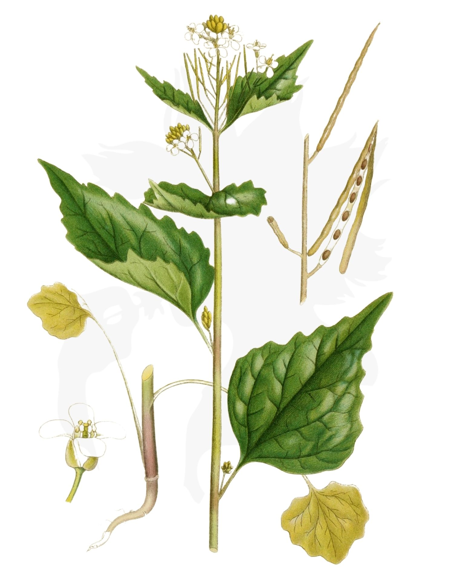 Garlic Mustard - A Foraging Guide to Its Food, Medicine and Other Uses
