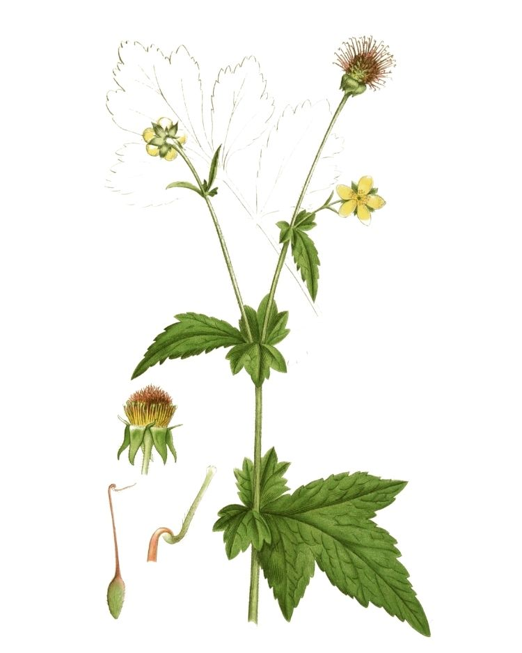 Wood Avens - A Foraging Guide to Its Food, Medicine and Other Uses
