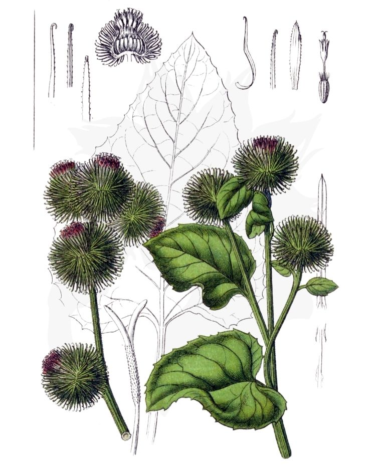 Burdock – A Foraging Guide to Its Food, Medicine and Other Uses
