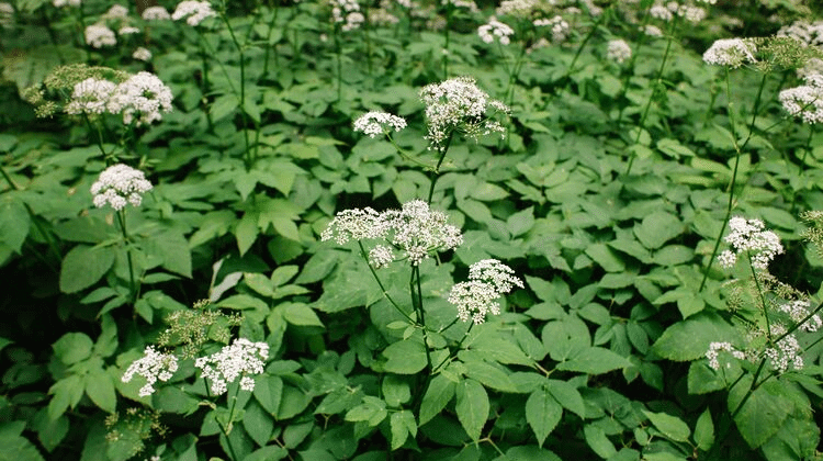 Ground Elder - Its Food, Medicine and Other Uses - Identification