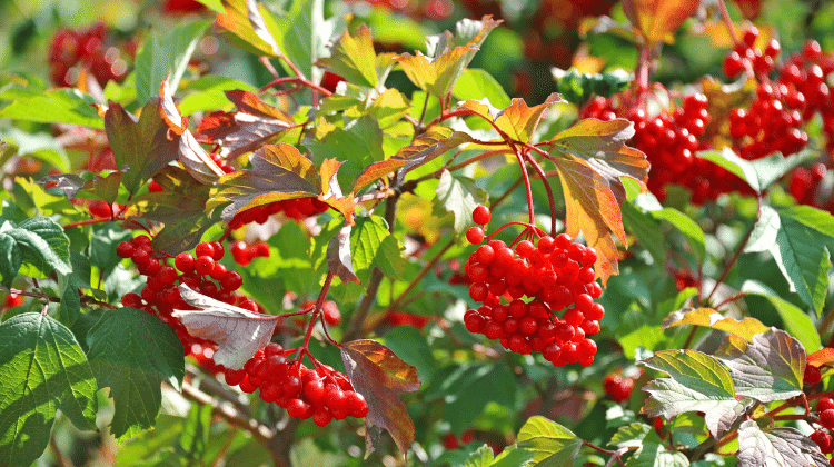 Guelder Rose or Crampbark - Its Past and Present Uses as Food and Medicine - Viburnum opulus