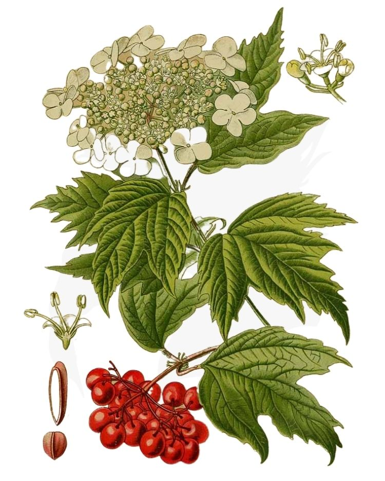 Guelder Rose or Crampbark - A Foraging Guide to Its Food, Medicine and Other Uses