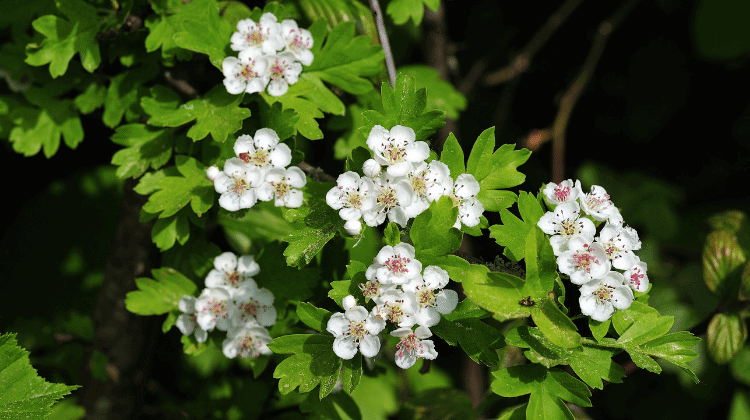 Hawthorn - Its Past and Present Uses as Food and Medicine - Crataegus monogyna
