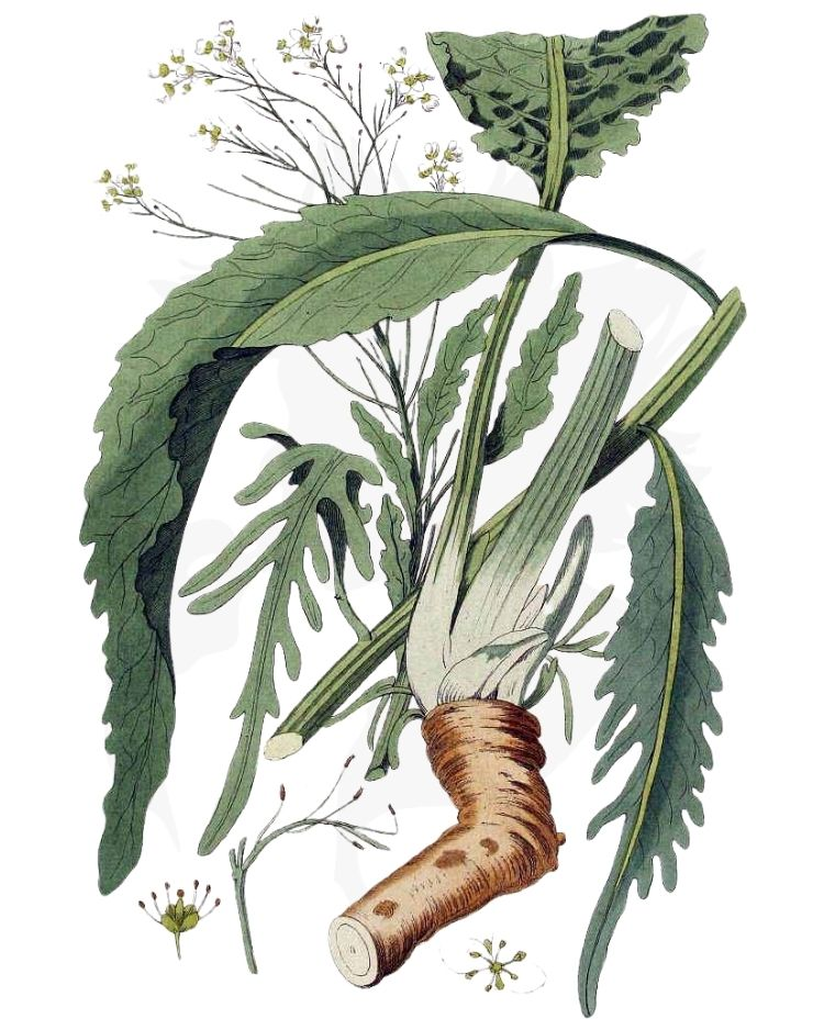 Horseradish - A Foraging Guide to Its Food, Medicine and Other Uses