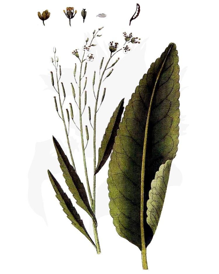 Horseradish Armoracia rusticana