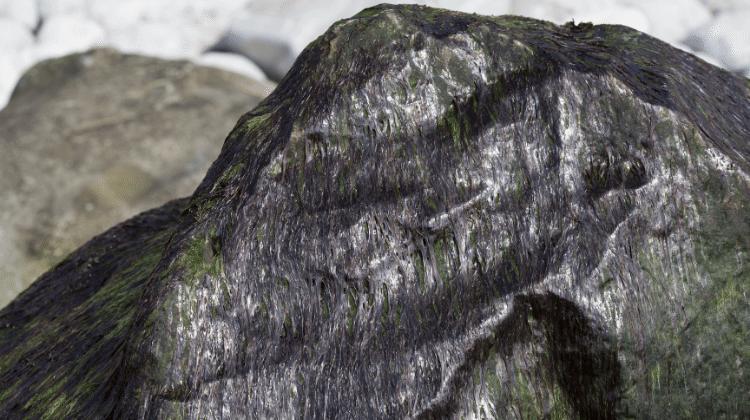 Porphyra umbilicalis - Laver Seaweed
