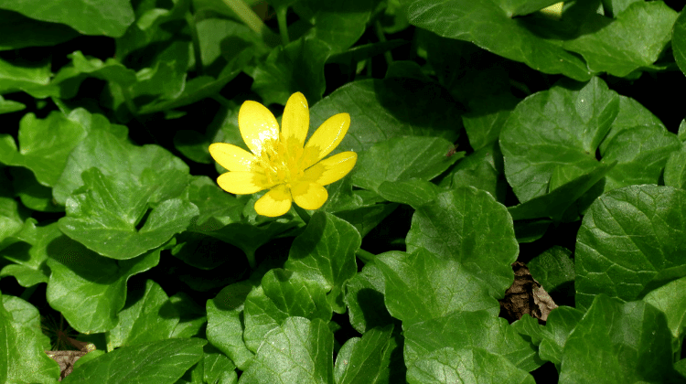 Lesser Celandine - A Foraging Guide to Its Food, Medicine and ...