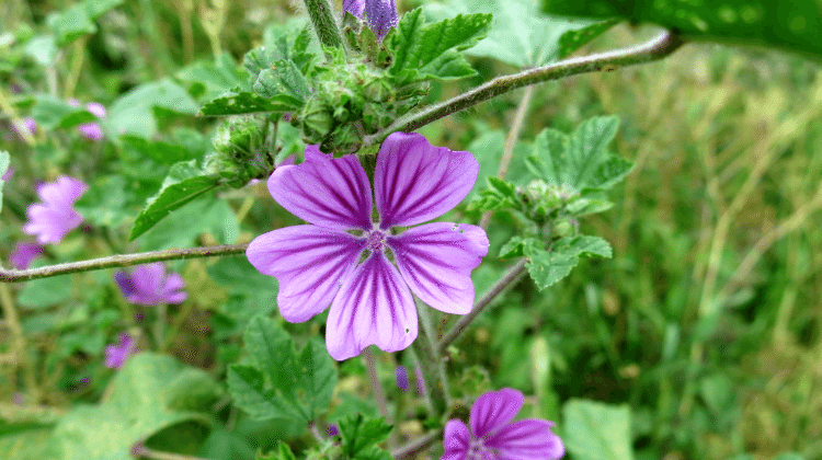 Mallow - Its Use As Food and Medicine - Malva sylvestris