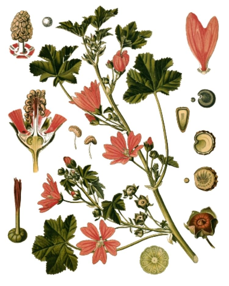 Mallow - A Foraging Guide to Its Food, Medicine and Other Uses