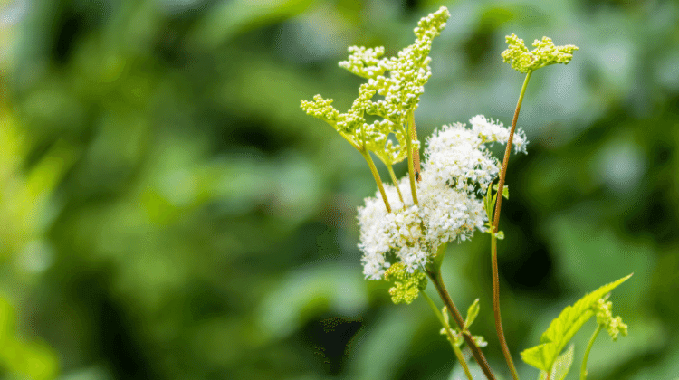The Past and Present Uses of Meadowsweet as Food and Medicine
