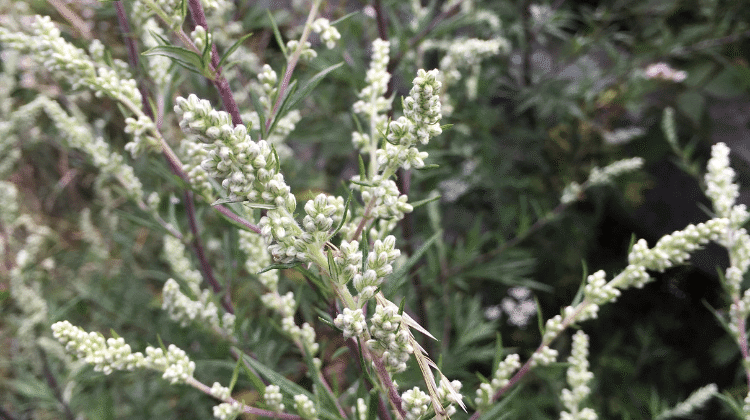 Mugwort - Its Use as Food and Medicine - Artemisia vulgaris