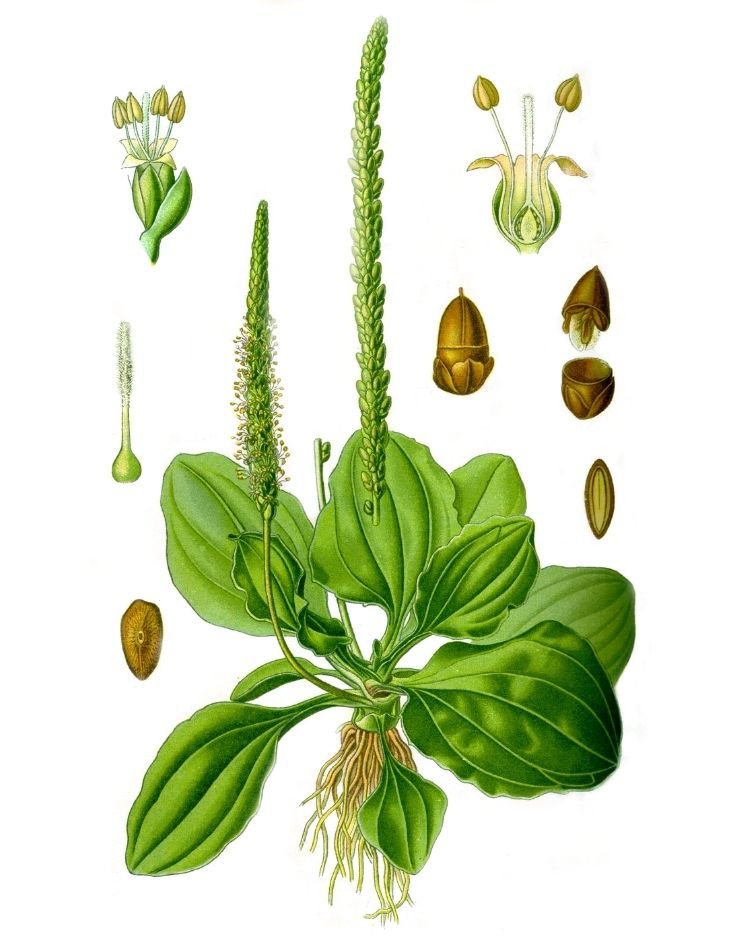 Plantain - A Foraging Guide to Its Food, Medicine and Other Uses