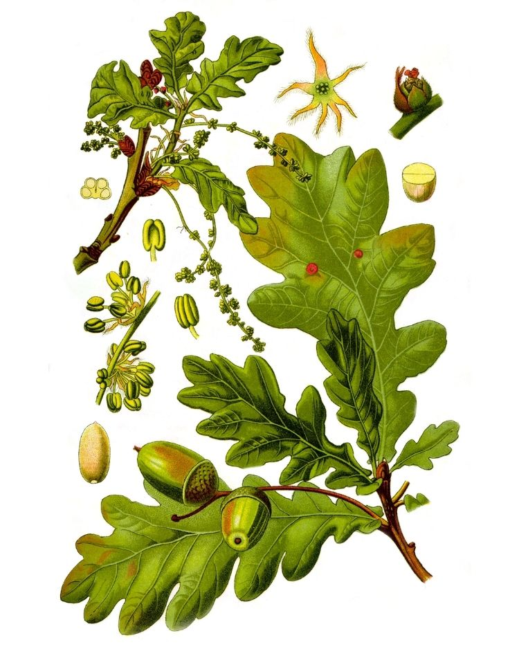 Oak - A Foraging Guide to Its Food, Medicine and Other Uses