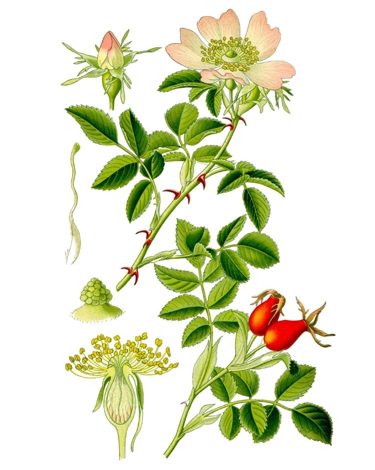 Rosehip - A Foraging Guide to Its Food, Medicine and Other Uses