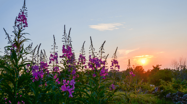 Rosebay Willowherb - A Foraging Guide to Its Use as Food and Medicine