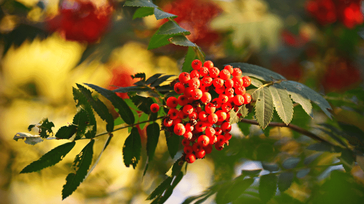 Rowan or Mountain Ash: Its Past and Present Uses as Food and Medicine