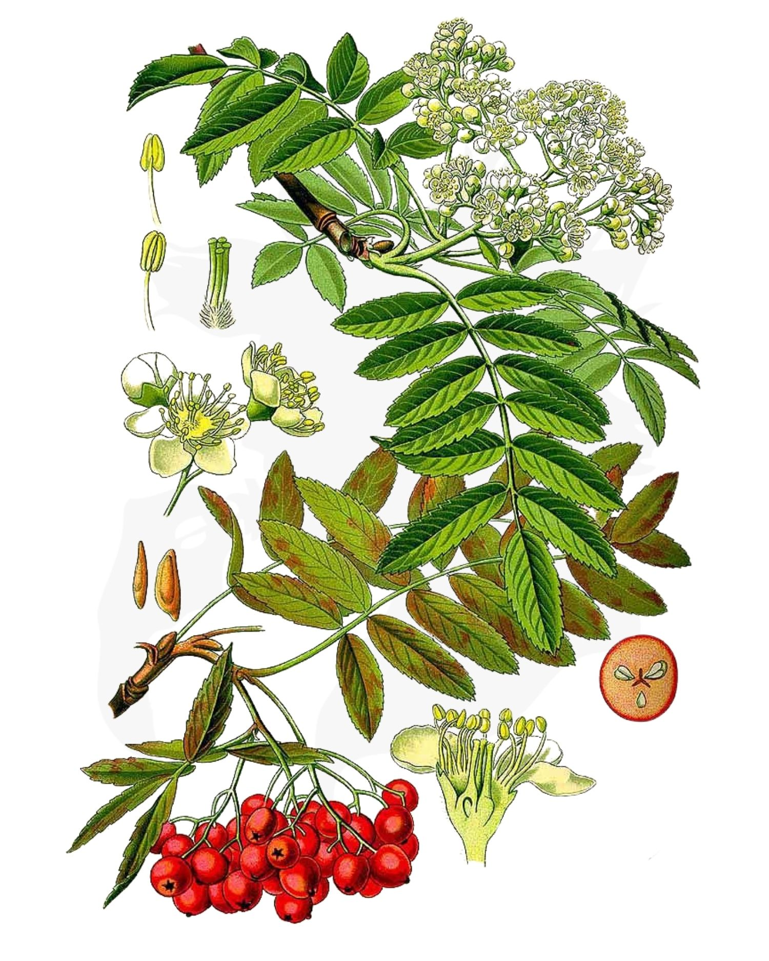 Rowan or Mountain Ash - A Foraging Guide to Its Food, Medicine and Other Uses