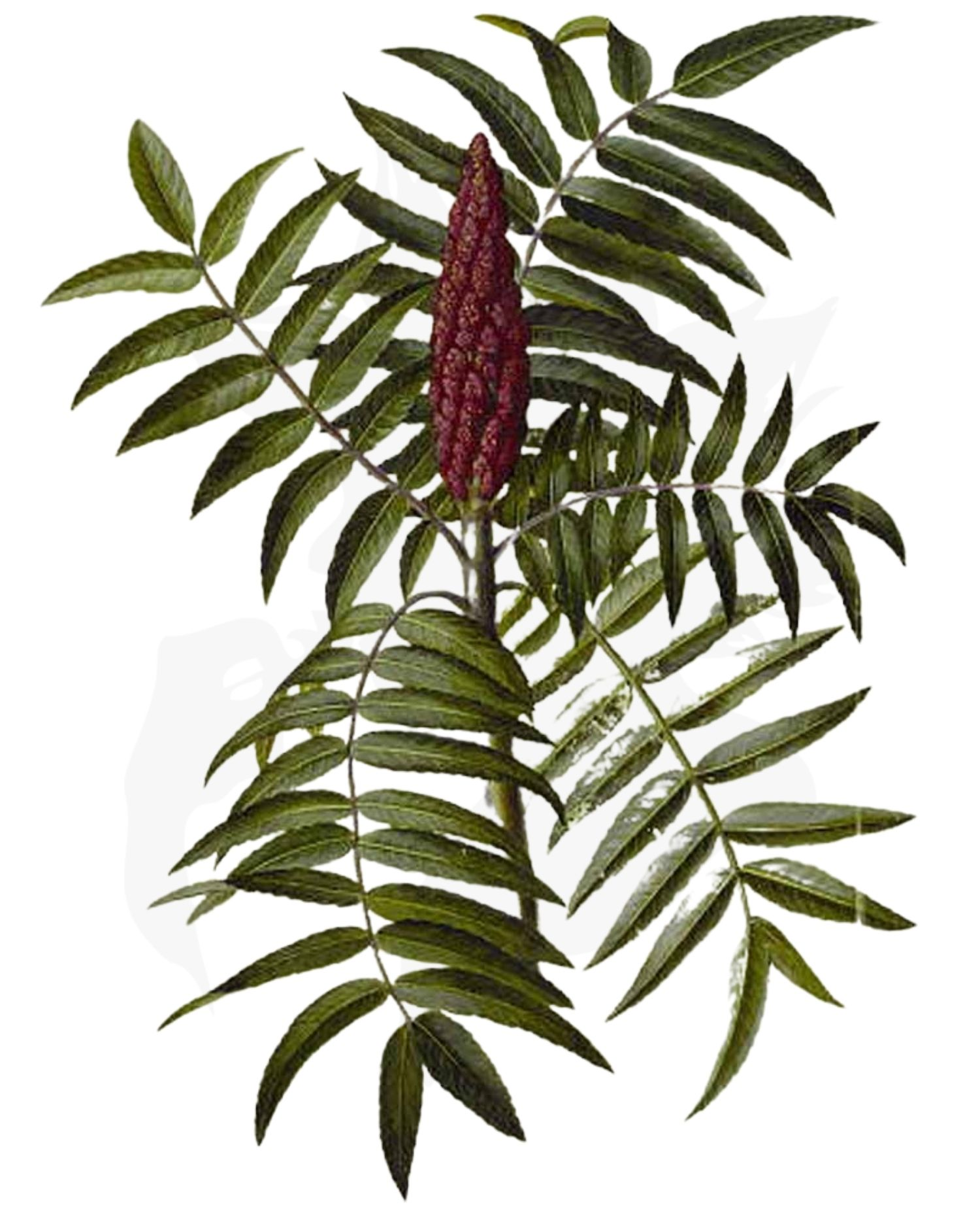 Staghorn Sumac – A Foraging Guide to Its Food, Medicine and Other Uses