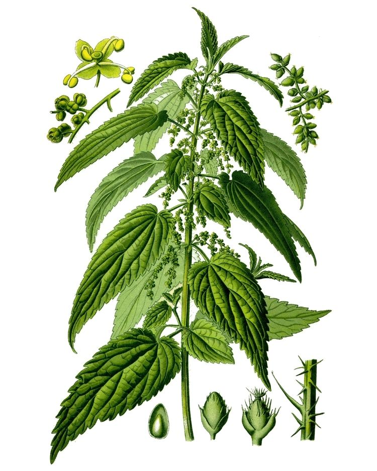 Stinging Nettle - A Foraging Guide to Its Food, Medicine and Other Uses